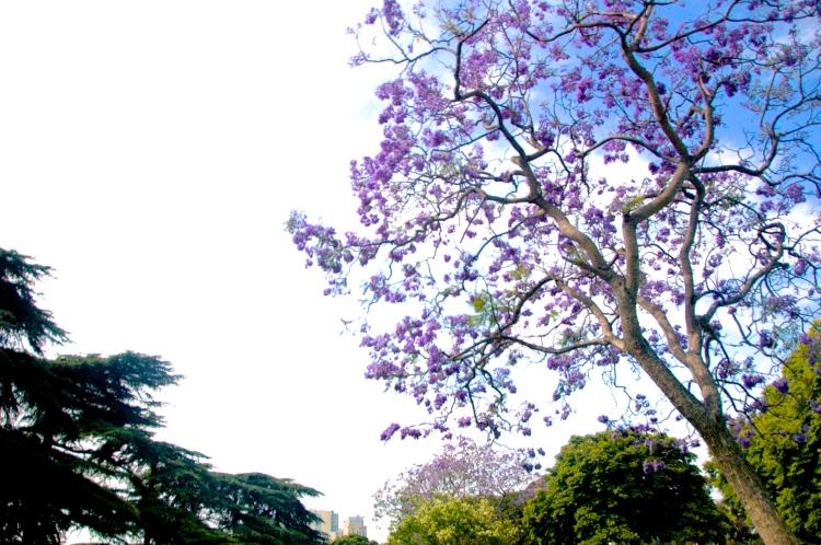 jacaranda-tree